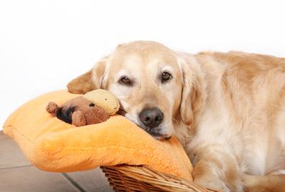 Embarazo psicológico en perros: ¿Es realmente un embarazo psicológico?